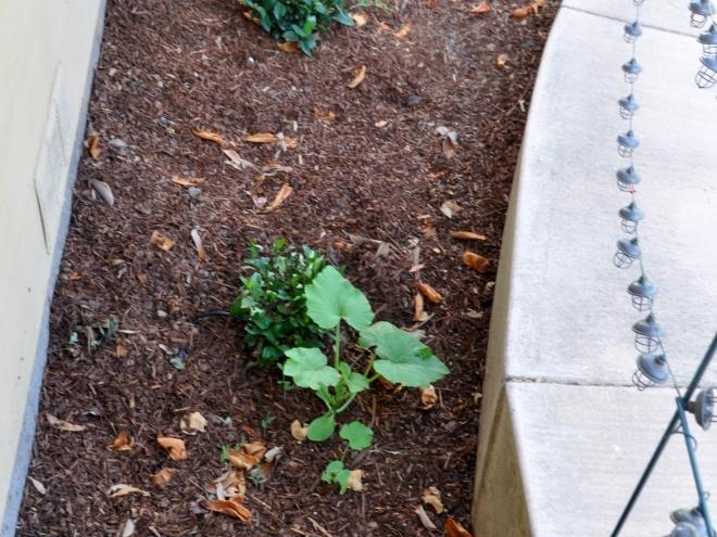 Zucchini or Pumpkin plant