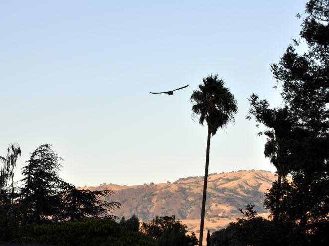 Owl soaring