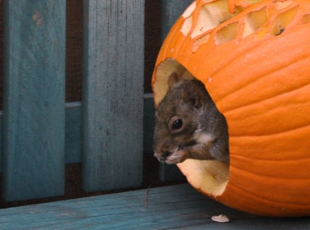 Squirrel exiting a carved pumpkin