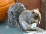 Squirrel eating a sunflower seed