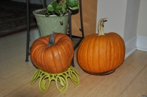 A pair of self-seeded pumpkins