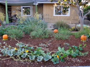 Three pumpkin vines in the front garden