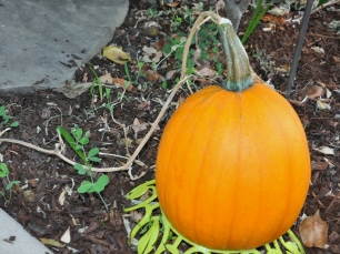 The last of the self-seeded pumpkins to ripen