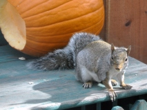 Squirrel exits pumpkin with a seed in his mouth