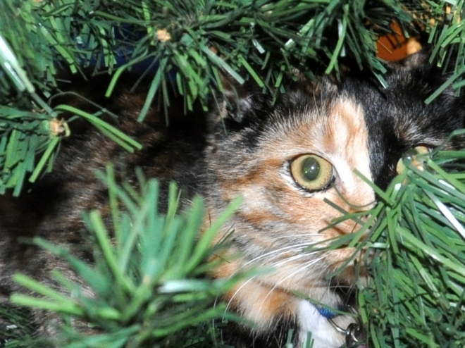 two faced kitten in Christmas tree