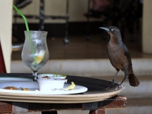 Great-tailed Grackle makes his move