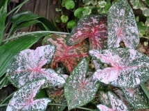 Pink Syngonium podophyllum, also known as an arrowhead plant