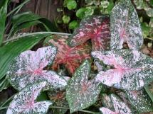 Pink Syngonium podophyllum, also known as an arrowhead plant