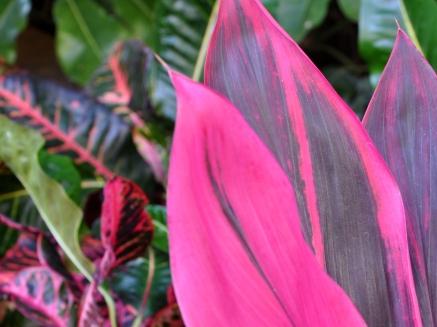 Stunning pink foliage