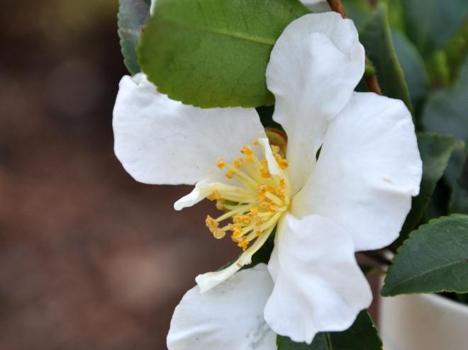 Camellia Japonica