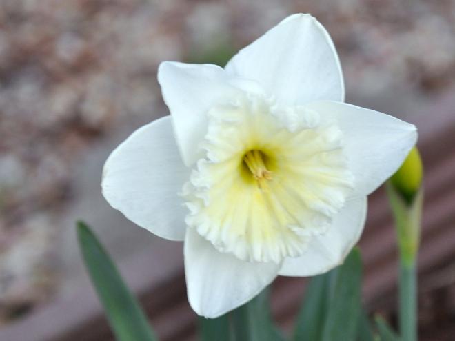 Daffodil 'Ice Follies'