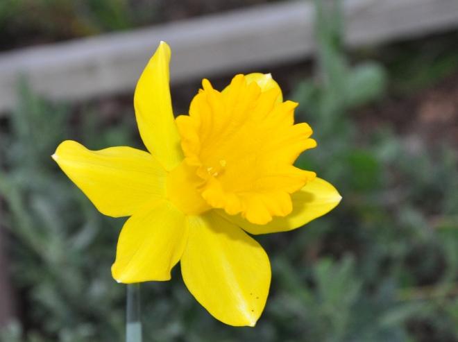 lemon yellow daffodil