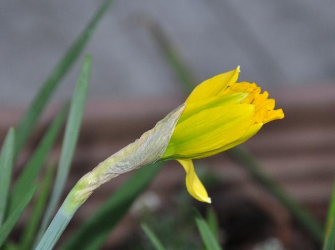 daffodil budding