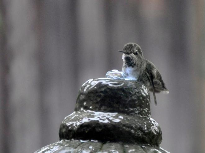 hummingbird on top of fountain