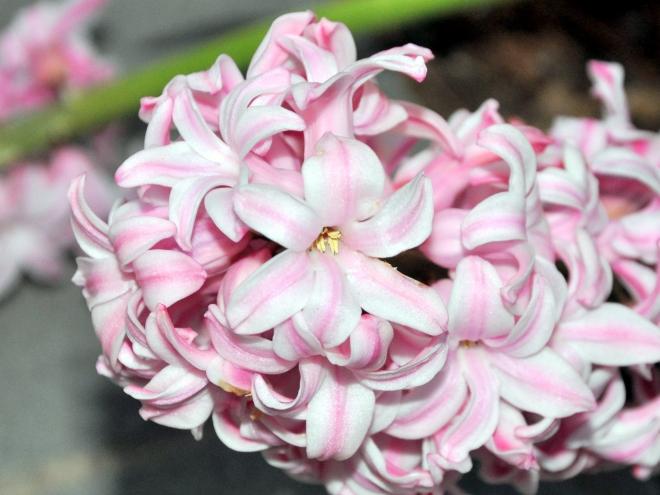 Orientalis hyacinth