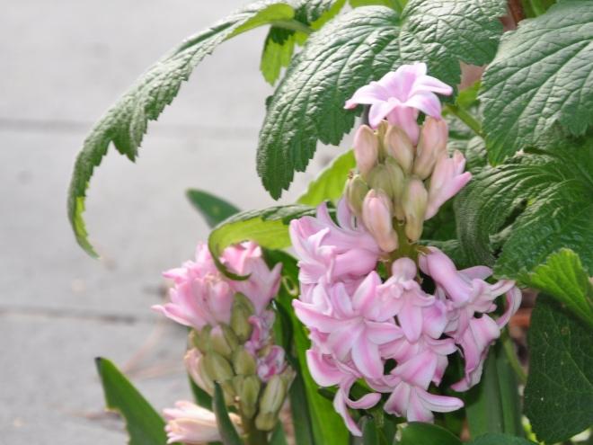 Orientalis hyacinth Pink Pearl