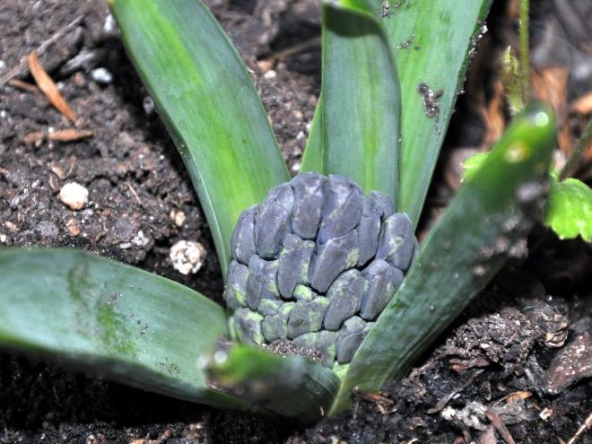 Orientalis Hyacinth 'Aida'