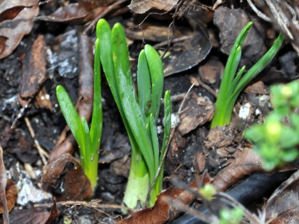 Daffodils emerging from the soil