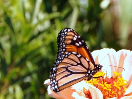 Monarch butterfly, New Zealand