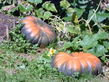 A pair of ripening pumpkins