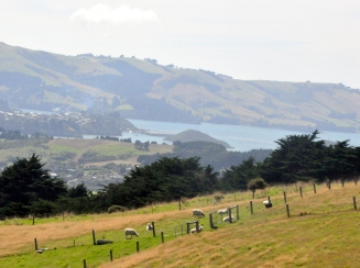 Sheep grazing above the Dunedin harbour