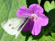 Cabbage or white butterfly, New Zealand