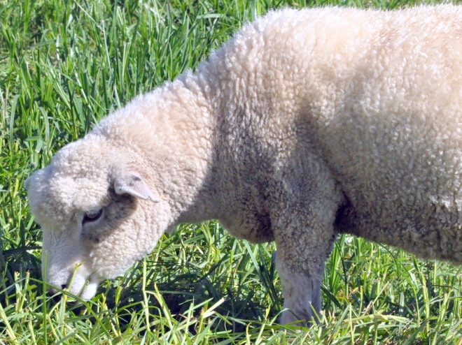 wooly sheep New Zealand
