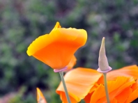 California poppy about drop its petals