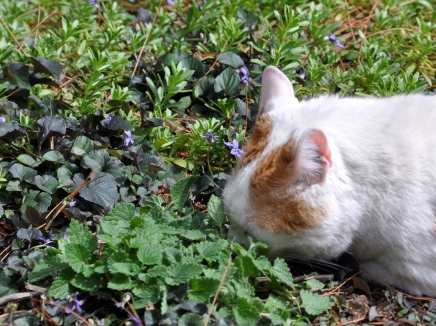 Mouse's turn in the nepeta cataria also known as catnip