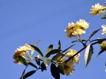 Trailing yellow rose