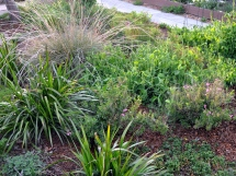 Grasses, kangaroo paw, sweet peas and ground cover