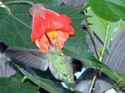 Hummingbird drinking nectar from an abutilon