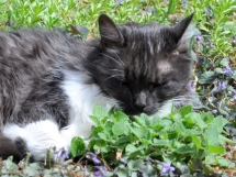Lindy enjoying nepeta cataria next to the Violets