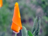 California poppy wrapped up tight