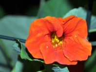 Hot orange nasturtium