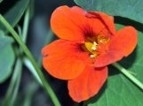 This orange nasturtium has a beautiful yellow center and a lovely pair of eyelashes