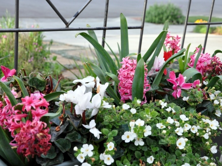 Earthbox planted with red, white and red cyclamen and pink hyacinth