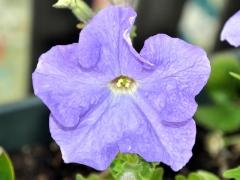 Petunia close-up