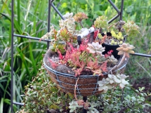 Red hot succulents