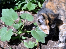 Tessa explores the pumpkin plants