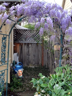 Wisteria growing over the archway