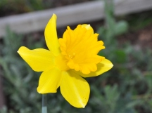 Narcissus or Daffodil
