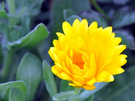 yellow daisy like flower from seed packet.JPG