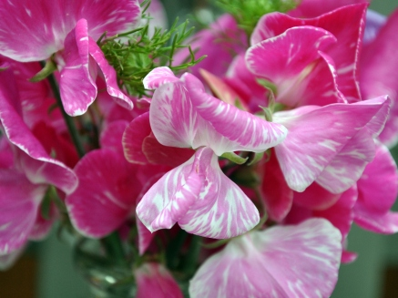 Variegated pink sweet pea