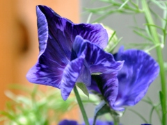 Variegated purple sweet pea