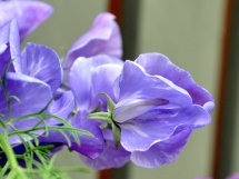 Lavender sweet pea and Nigella foliage