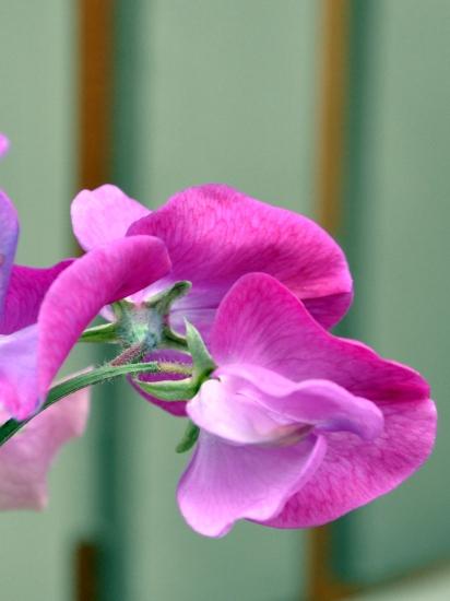 Fuchsia sweet pea closeup