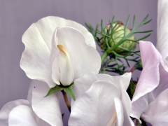 White to pink sweet pea