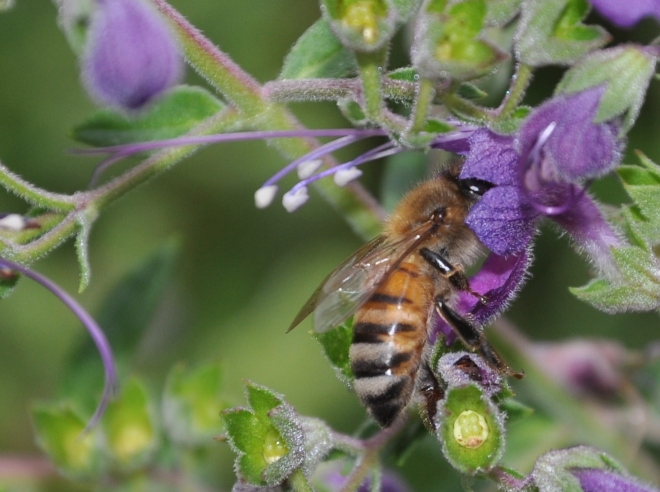 bee pollinating trichostema