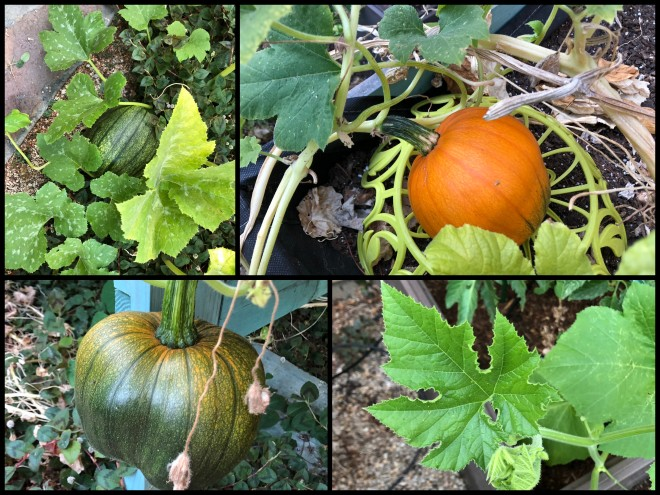growing pumpkins